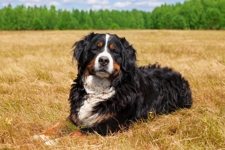 Bernese Mountain Dogs Rescue Pledge