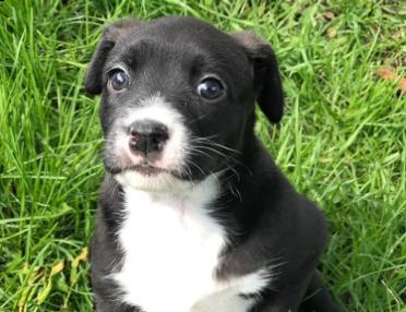 Rescue Pledge: Bernese Mountain Dogs