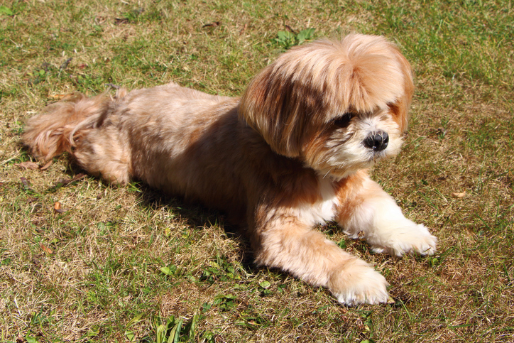 Lhasa Apso Breed And Rescue Information Rescue Pledge