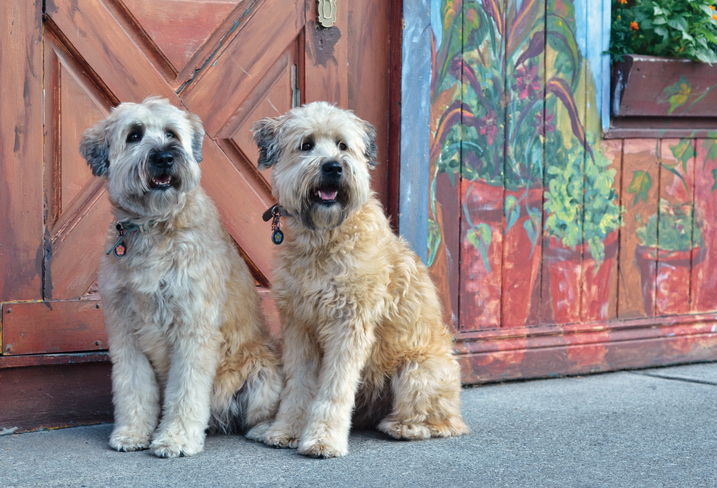 Rescue Pledge Soft Coated Wheaten Terriers